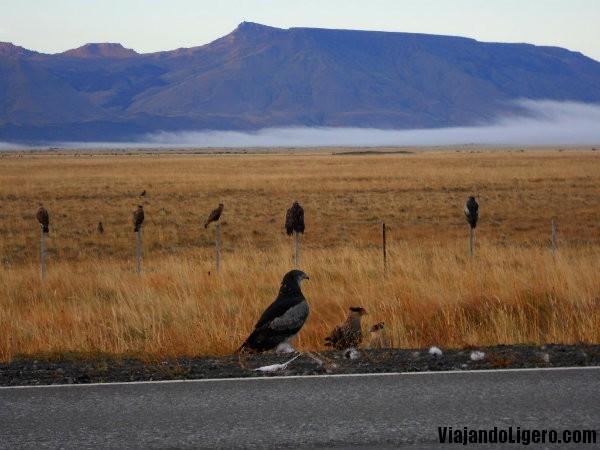 Águilas de camino a Perito Moreno