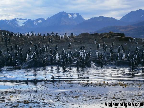 Cormoranes imperiales