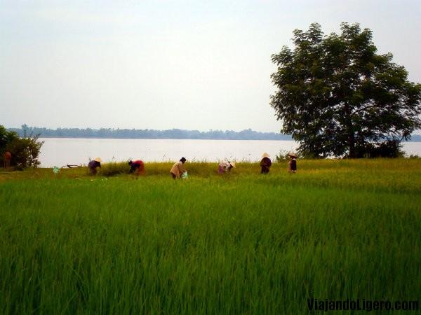 Arrozales en Champasak