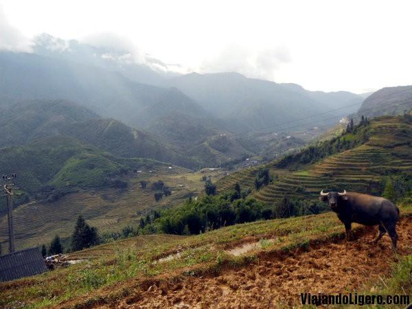 Búfalo en Sapa