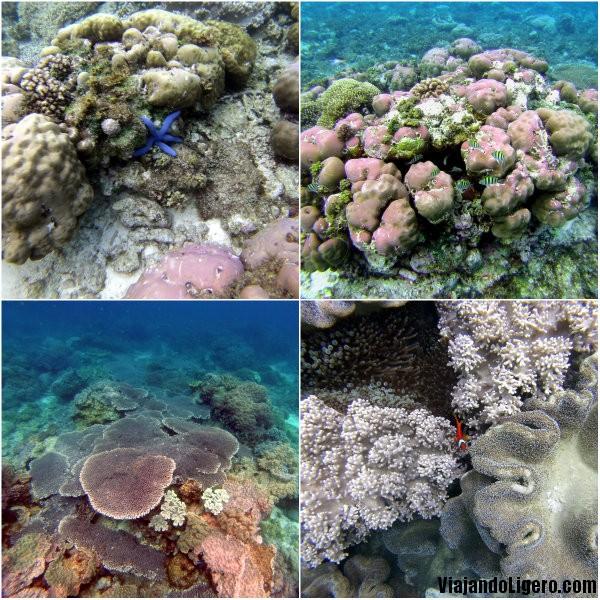 Apo Island, coral