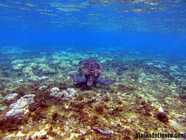 Tortuga en Apo Island