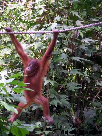 Orangután, Sepilok