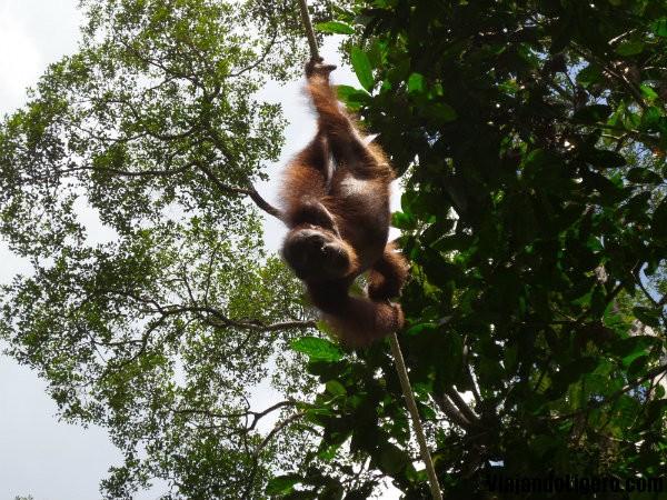 Orangután jugando en Sepilok