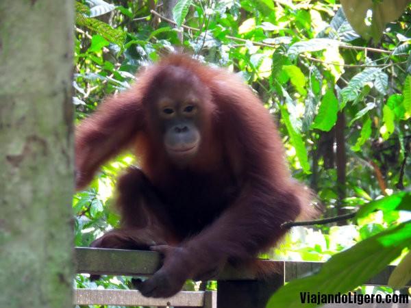 Centro de Rehabilitación de Orangutanes de Sepilok