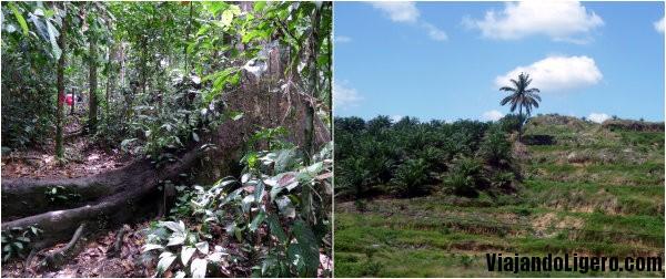 Tala de la selva en Borneo