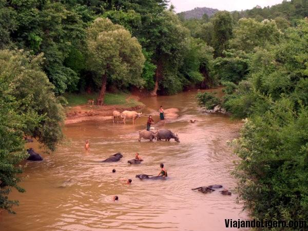 Búfalos Myanmar